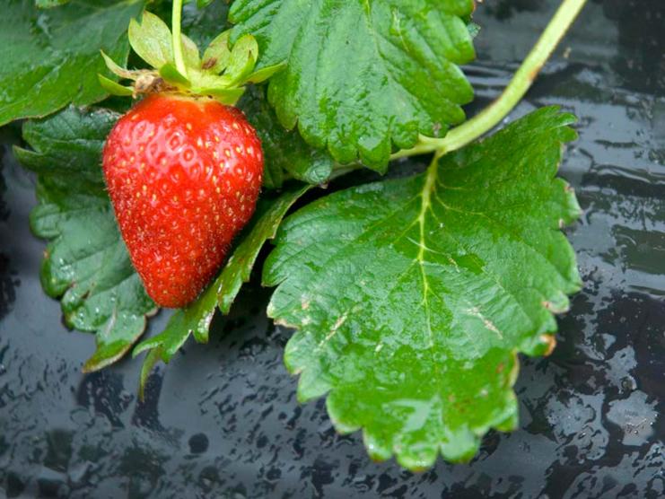 Protégez vos fraises des mauvaises herbes