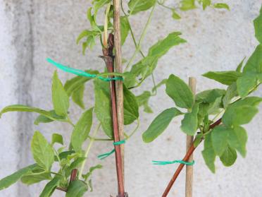 Attachez vos plantes en toute facilité